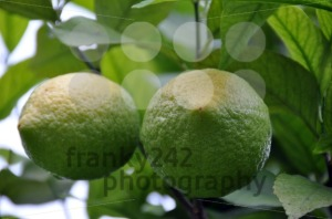 Lemon-Tree-2