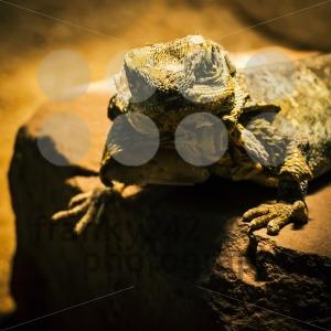 Lizard-posing-on-sandstone