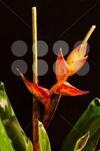 Lobster Claw / Heliconia flower - franky242 photography