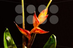 Lobster-Claw-Heliconia-flower1