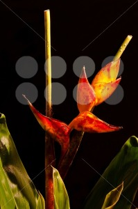 Lobster-Claw-Heliconia-flower3