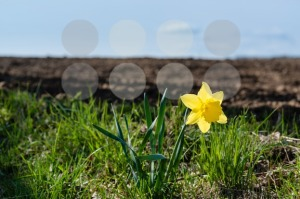 Lonely daffodil - franky242 photography