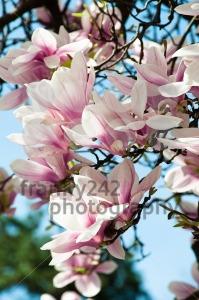 Magnolia-blossom2
