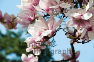 Magnolia-blossom3