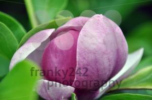 Magnolia-blossom4
