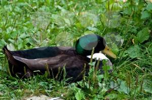 Male-duck