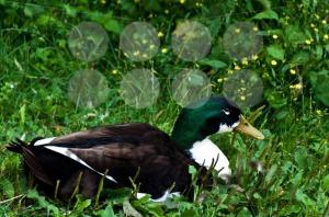 Male-duck1