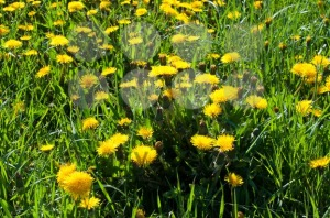 Meadow with yellow dandelions - franky242 photography