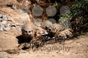 Meerkats-playing