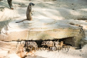 Meerkats toying around - franky242 photography
