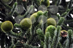 Monkey-Puzzle-Tree-araucaria