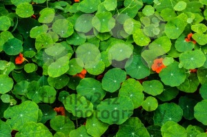 Nasturtium flowers - franky242 photography