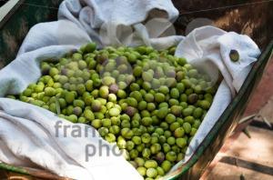 Olive-Harvesting