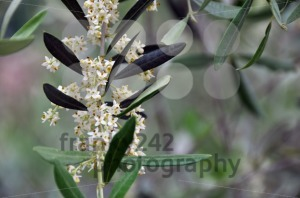 Olive-blossom-in-early-summer