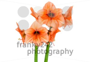 Orange Amaryllis in full blossom - franky242 photography