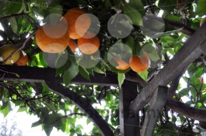 Orange-And-Lemon-Trees