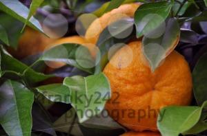 Orange-Tree-1