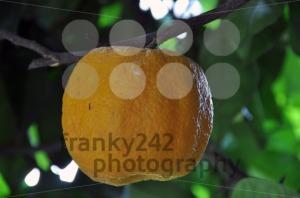 Orange-Tree-11
