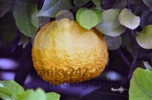 Orange-Tree-21