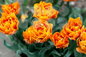Orange tulips - franky242 photography