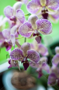 Orchid - franky242 photography
