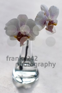 Orchid In Vase - franky242 photography