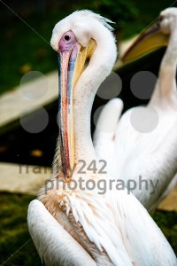 Pelican-cleaning-his-plumage2