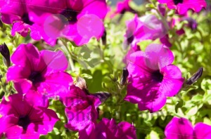 Petunia Surfinia Bush – Pink Vein - franky242 photography