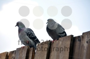 Pigeon-couple-sitting-on-board-wall