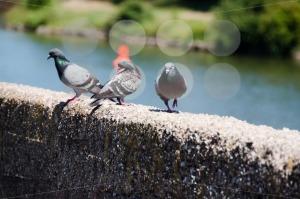 Pigeons-Resting