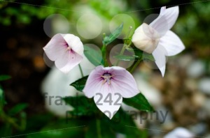 Pink Chinese Bellflower - franky242 photography