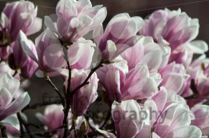 Pink Magnolia Blossom - franky242 photography