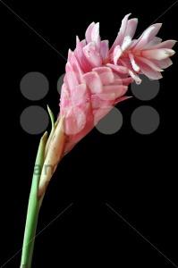 Pink-ginger-flower