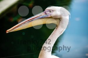 Pink-pelican-head