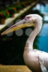Pink-pelican-head1