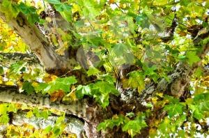 Plane-tree-in-fall