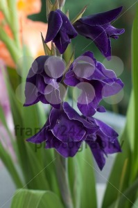 Purple Gladioli - franky242 photography
