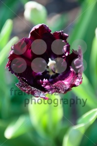 Purple-Tulip-in-Garden
