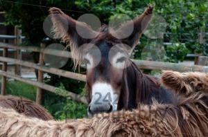 Rare Poitou Donkeys - franky242 photography