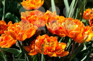 Red-Orange-Tulips-garden1