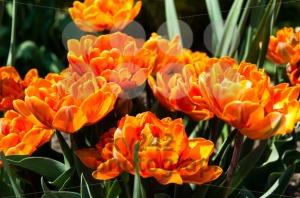 Red-Orange-Tulips-garden1