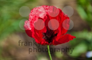Red-Poppy-Flower