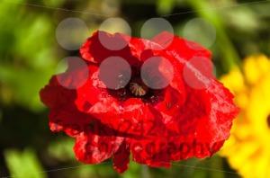 Red-Poppy-Flower1