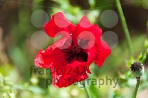 Red-Poppy-Flower2