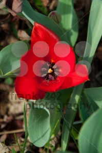 Red Tulip - franky242 photography
