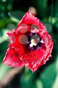 Red-Tulip-in-Garden