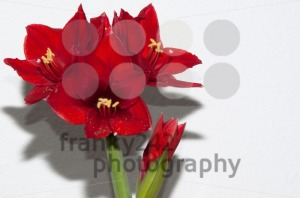 Red amaryllis - franky242 photography