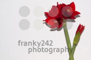 Red amaryllis greeting card - franky242 photography