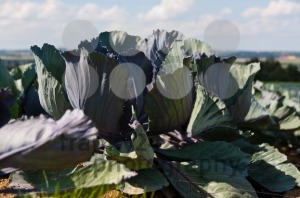 Red-cabbage-field1