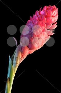 Red-ginger-flower